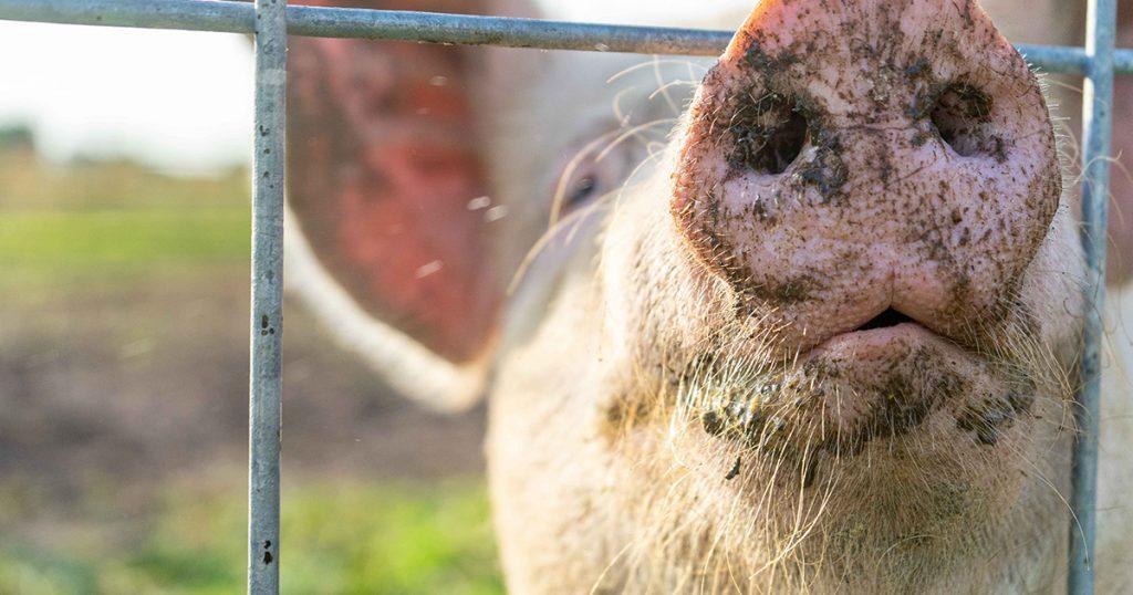 Swine Feed, Animal Nutritional Products, Livestock feed, animal health